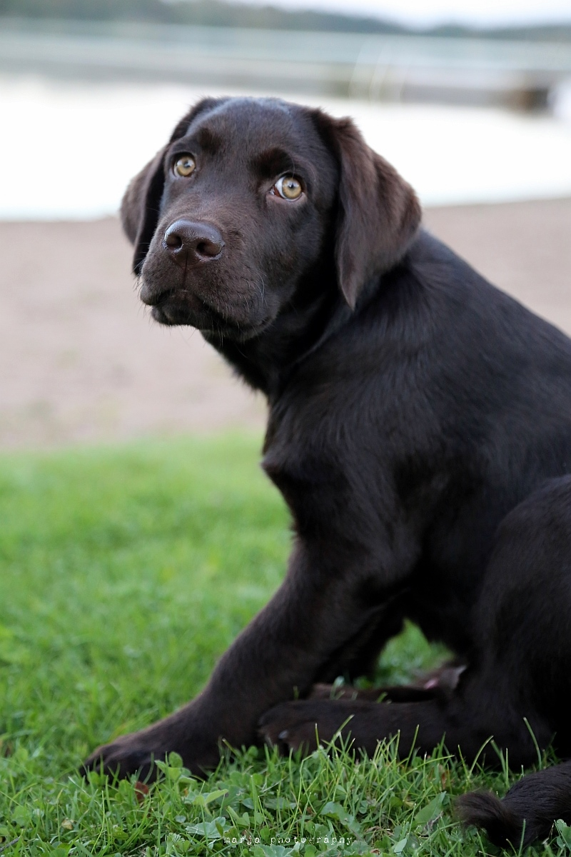 vaino the labrador22